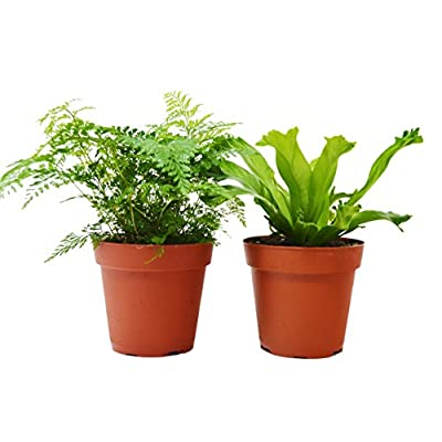 2 Fern Variety Pack - Live Plants - FREE Care Guide - 4