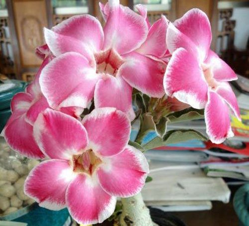 20-fresh-seeds-adenium-obesum-desert-roses-rare-www-rung-arun-pink-us