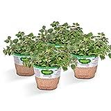 Bonnie Plants Italian Oregano (4 Pack) Live Plants