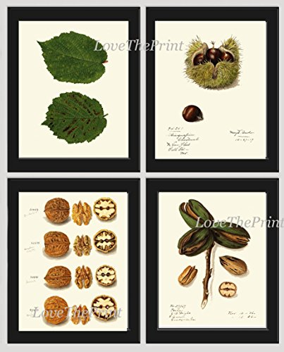 (Nut Print Set of 4 Antique Beautiful Botanical Walnut Chestnut Nut Green Leaf Tree Graden Plant Nature Home Room Decor Wall Art Unframed)