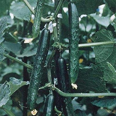 "Tasty King Hybrid Cucumber Seeds - burpless, 10"" long, thin-skinned and tender.(100 - Seeds) : Garden & Outdoor"