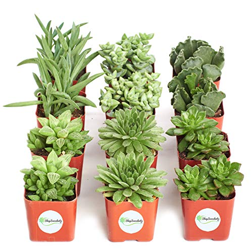 Shop Succulents Green Succulent (Collection of 12) by Shop Succulents (Image #3)