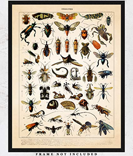 (Vintage Insects Wall Art Print: Unique Room Decor for Boys, Girls, Men & Women - (11x14) Unframed Picture - Great Gift Idea)
