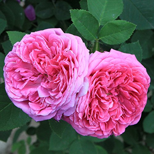 (HPDR Bush955 *Ambizu*) Heirloom Pink Damask Rose Bush Flower Seeds, Professional Pack, 50 Seeds / Pack, Light Fragrant Garden Flower AMBIZU 99-99