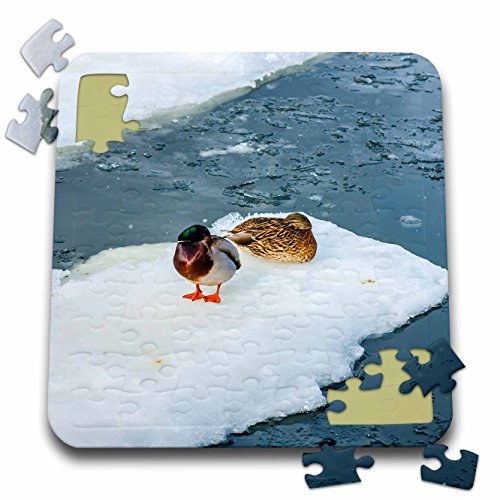 3dRose Alexis Photography - Birds - Male and female mallard ducks on ice try to warm themselves - 10x10 Inch Puzzle (pzl_284008_2) ()