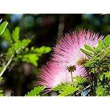 Pink Powder Puff Tree Plant Unique Unusual Flower ROSE CASCADE 4 Inch Pot