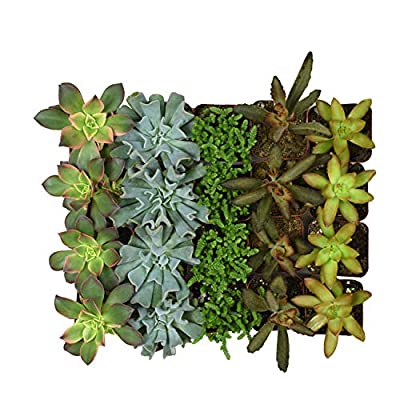 Altman Plants Assorted Live 2 Inch Small Collection Home Decor Container Variety of Succulent Gardens, Mother's Day, 2