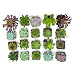 Succulent Plants (20 Pack) Fully Rooted in Planter Pots with Soil | Real Live Potted Succulents / Unique Indoor Cactus Decor by Plants for Pets 17 HAND SELECTED: Every pack of succulents we send is hand-picked. You will receive a unique collection of species that are fully rooted and similar to the product photos. Note that we rotate our nursery stock often, so the exact species we send changes every week. THE EASIEST HOUSE PLANTS: More appealing than artificial plastic or fake faux plants, and care is a cinch. If you think you can't keep houseplants alive, you're wrong; our succulents don't require fertilizer and can be planted in a decorative pot of your choice within seconds. DIY HOME DECOR: The possibilities are only limited by your imagination; display them in a plant holder, a wall mount, a geometric glass vase, or even in a live wreath. Because of their amazingly low care requirements, they can even make the perfect desk centerpiece for your office.