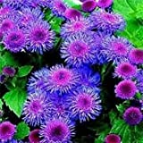 50+BLUE TYCOON AGERATUM FLOWER SEEDS SELF SEEDING ANNUAL