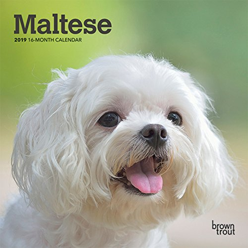 Maltese 2019 7 x 7 Inch Monthly Mini Wall Calendar, Animals Small Dog Breeds (Multilingual Edition)