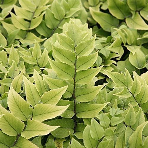 Asplenium Crytomium 6 Large Plants in 13cm Pots Fern Plant Mix Dryopteris Ready to Plant