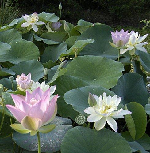 Cheap aquatic plants patio lawn garden categories for Cheap pond plants