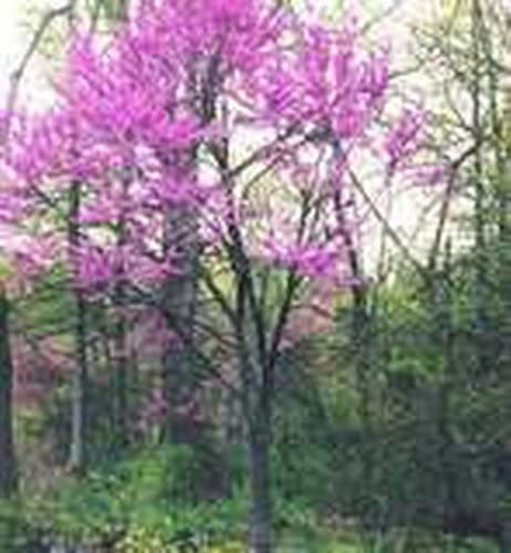 GORGEOUS PINK FLOWERS 20 x Eastern Redbud Tree Seeds By MySeeds.Co Cercis canadensis VERY COLD HARDY Z 4-9