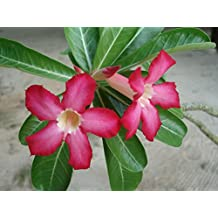 10 Seeds Adenium obesum Desert Rose Ornamental Tree