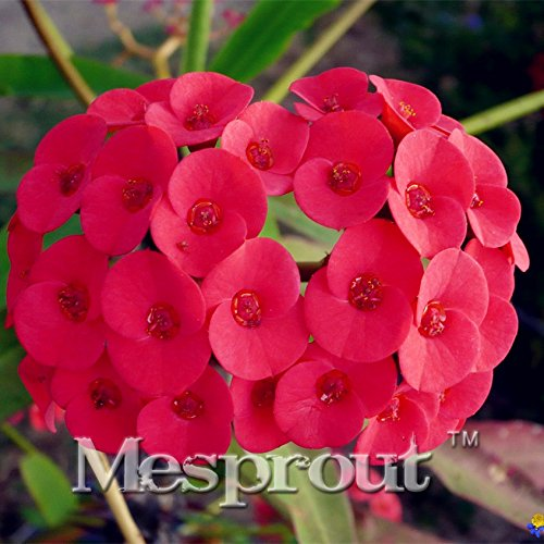 Hot Sale! Euphorbia Milii Hybrid Mix Middle 100 seeds Big Flowers Crown Of Thorns Seeds Graptopetalum Rusbyi garden rare Flowering Plants seeds of change (Crown Of Thorn Plant)