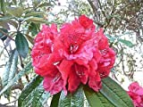Rhododendron arboreum RHODODENDRON Seeds!