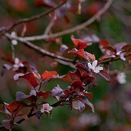 Amazon Com 40 Seeds Of Prunus Cerasifera Var Atropurpurea