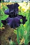 One Tall Bearded German Iris Rhizome/Bulb ~ Dusky Challenger ~Dark Purple/Black Blooms