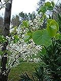 seedusa 15 Seeds White-flowered Judas Tree Cercis siliquastrum Alba