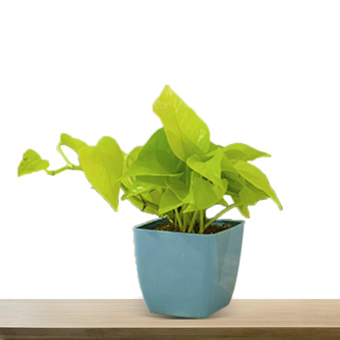 Masu Homes Good Luck Golden Live Money Plant with Plastic Planter Air Purifying Radiation Observant Plant for Home, Office (B081DPRQGS) Amazon Price History, Amazon Price Tracker