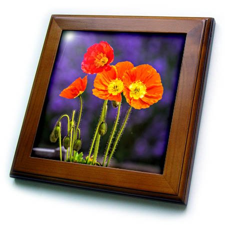 3dRose Danita Delimont - Flowers - USA, Washington State, Poppies on Display - 8x8 Framed Tile (ft_279784_1) (Field Washington Usa Framed)