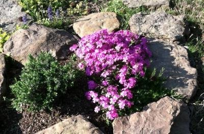 Classy Groundcovers - Phlox 'Drummond's Pink' Creeping Phlox, Moss Phlox {25 Pots - 3 1/2 in.} by Classy Groundcovers (Image #4)
