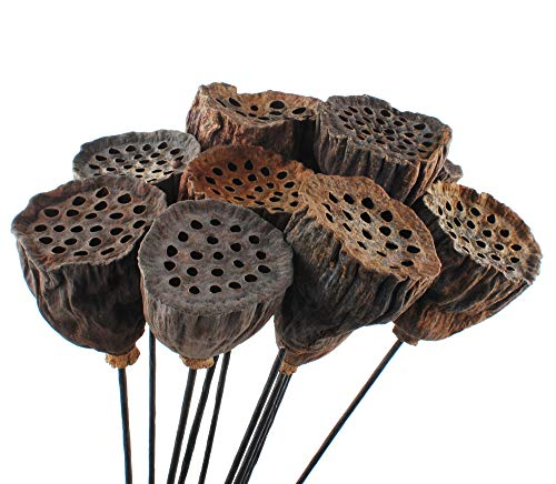 NWFashion 10PCS/Package Mini Natural Dried Brwon Lotus Pods Seeds Inside with Stems (2-3CM) (Lotus Pods)