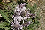 1 Pcs of 1.5 qt Berkheya purpurea seedlings, South African Thistle