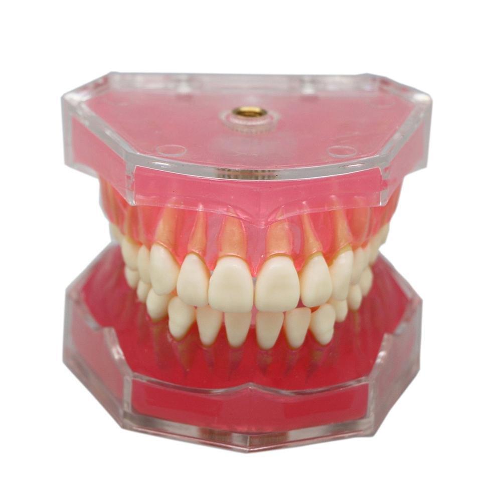 Gracefulvara Dental Removable Teeth Model Study Teach Standard Model