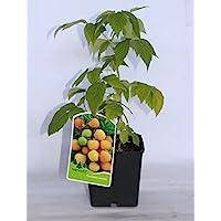 Frambuesa amarilla (maceta 2 litros) - Arbusto frutal