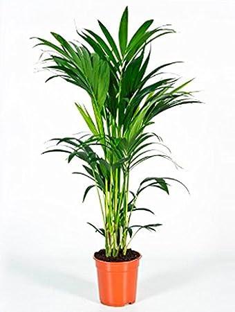 Kentiaplame 80 100 Cm Im 21 Cm Topf Pflegeleichte Zimmerpflanze