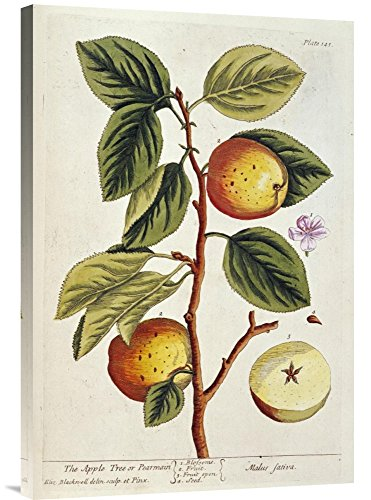 Global Gallery Budget GCS-265943-30-142 Elizabeth Blackwell Apple Tree Gallery Wrap Giclee on Canvas Print Wall Art ()
