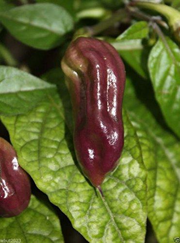 PURPLE Bhut Jolokia/Ghost Chili (10 RARE Seeds) Beautiful and Hot !