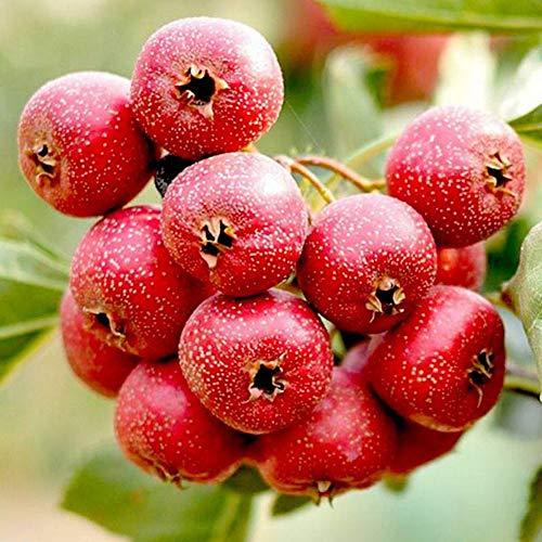 Hawthorn Tree Seeds Sour Fruit 10 Seeds Crataegus Laevigata Berry Seeds for Home Garden Outdoor Yard Farm Planting