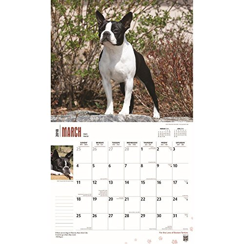 For the Love of Boston Terriers 2018 Deluxe Wall Calendar Photo #2