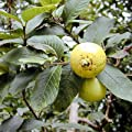 GUAVA PSIDIUM GUAJAVA tropical fruit 75 seeds