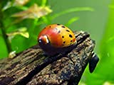 1 Tiger Nerite Snail (Neritina natalensis - 1/2 to 1 inch in diameter) - Live Snail by Aquatic Arts