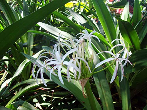 (20 Bulbs Giant White Amazon Crinum)