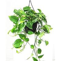 pianta vera da interno SALOMONE RICADENTE POTHOS AUREA ornamentale Ø 20 cm - h 50 cm