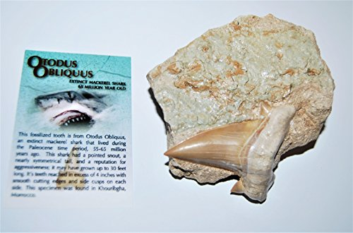 OTODUS Shark Tooth Fossil in the Matrix 65 Million Yrs Old #13120 26o