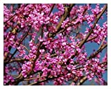 Eastern Redbud Tree - Healthy Established Roots - Gallon Potted - 1 Plant by Growers Solution