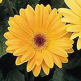 Outsidepride Gerbera Golden Yellow - 10 seeds