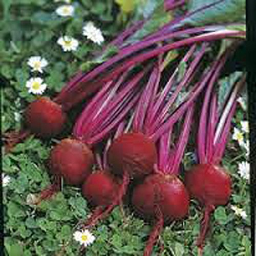 Beets, Early Wonder, Organic, NON-GMO, 25 per package, Early Wonder has it all they are tasty, abundant greens, flavorful beets.