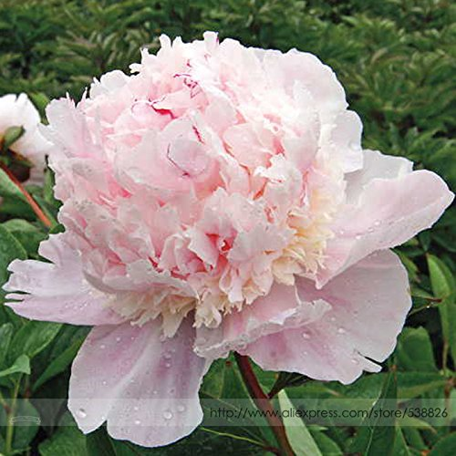 (2018 Hot Sale Davitu 5 Seeds Rare Many Petaled Bowl-Shaped Pink Peony Garden Flowers Seeds)