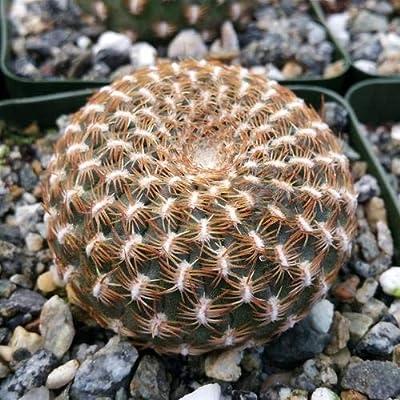 Solcurebutia arenacea : Garden & Outdoor
