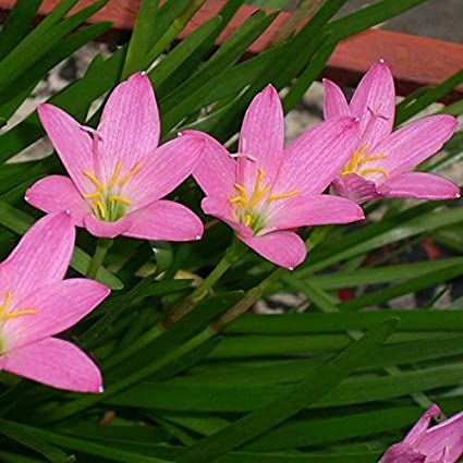 Rare Rain Lily Bulbs Zephyranthes Perennial Pink Purple Primulina Flower Plants