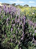 Lavandula dentata 250 seeds