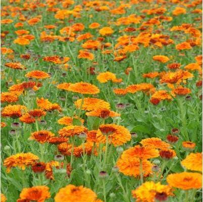 AGROBITS Nuevo Hogar Jardín Planta 20pcs crisol anaranjada Mari, Caléndula officinalis Flor: 8: Amazon.es: Jardín