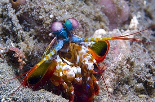 Close-up head view of a Mantis Shrimp (Odontodactylus scyallarus) Volcano crater Witu Islands Papua New Guinea Poster Print (17 x 11)