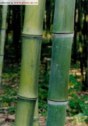 Box of 3 Phyllostachys Atrovaginata, Incense Bamboo #1 Size Live Plant